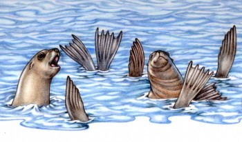 Pacific Point Sea Lions