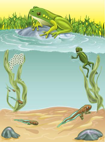 Frog cycle