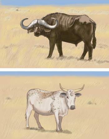 An African Buffalo and an Nguni bull