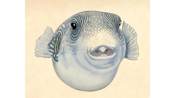 Puffer fish - cover & feature illustrations