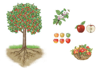 an apple tree with flowers, apples and basket