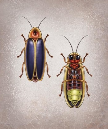 Diagram of male and female firefly