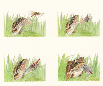 Tadpoles and Frogs - Beginners - © Usborne Children's Books