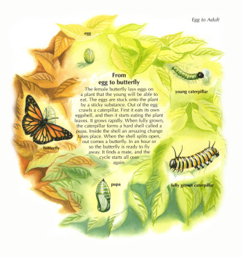 Monarch butterfly life-cycle - Animal Encyclopedia (World Books)