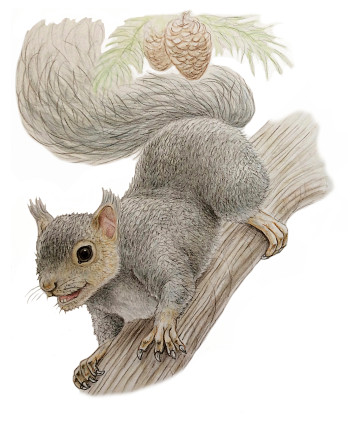 Grey squirrel (non fiction/reference books/educational/ natural history)